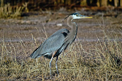 Photograph - Great Blue Heron 2 by Harry Strharsky