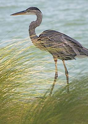 Great Blue Heron And Grass Art Print