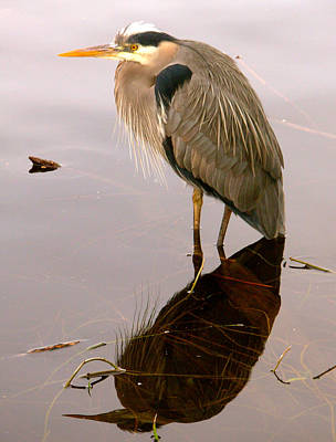 Y120831 Photograph - Great Blue Heron And Water Reflection by Judy Bishop - The Travelling Eye