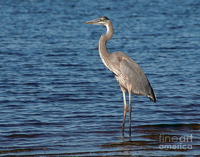 Art Print featuring the photograph Great Blue Heron by Art Whitton