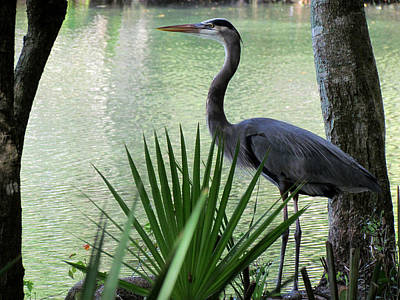 Photograph - Great Blue Heron At Work by Judy Wanamaker