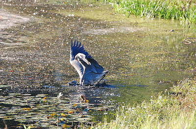 Photograph - Great Blue Heron Catches Bass by Mary McAvoy