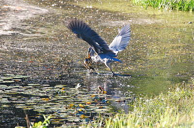 Photograph - Great Blue Heron Catches Wide-mouth Bass by Mary McAvoy