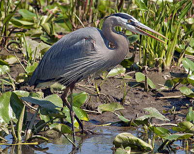 Photograph - Great Blue Heron Dmsb0005 by Gerry Gantt