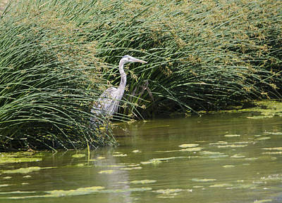 Photograph - Great Blue Heron by Donna Greene