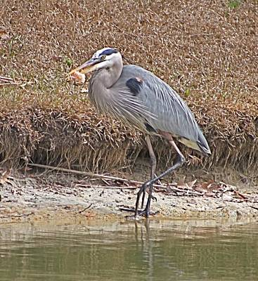 Photograph - Great Blue Heron Eating Lunch by Jeanne Kay Juhos