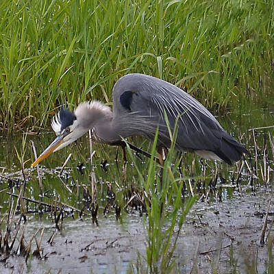 Photograph - Great Blue Heron Feeding by Ansel Price