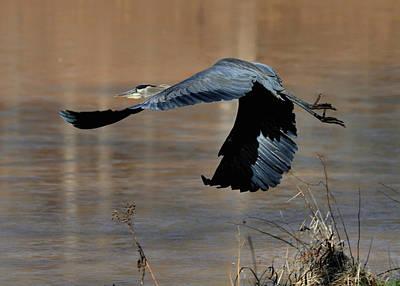 Great Blue Heron Flight - C1287g Art Print by Paul Lyndon Phillips