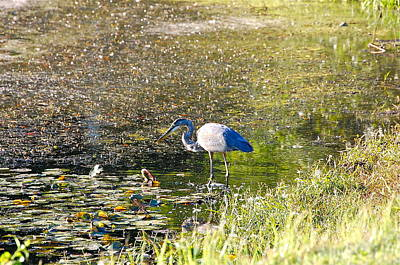 Photograph - Great Blue Heron Hunting by Mary McAvoy