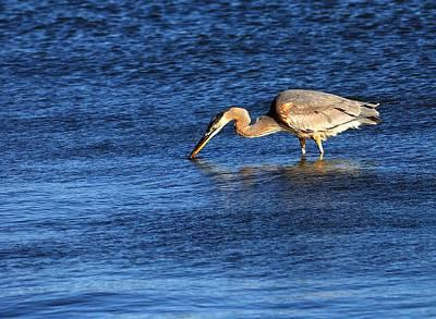 Great Blue Heron Hunting Art Print by Roy Williams