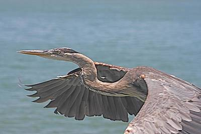 Photograph - Great Blue Heron In Flight by Jeanne Kay Juhos