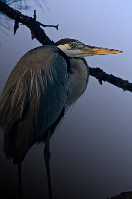 Great Blue Heron In The Tree Art Print