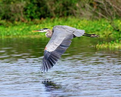 Beverly Brown Fashion Rights Managed Images - Great Blue Heron Inflight Royalty-Free Image by Bill Dodsworth