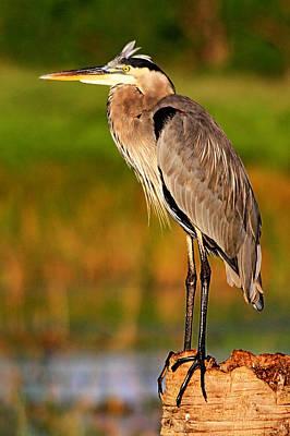 Photograph - Great Blue Heron by Ira Runyan
