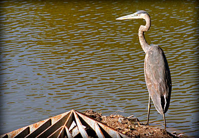 Photograph - Great Blue Heron by Kay Novy