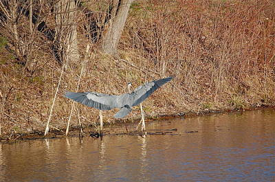 Photograph - Great Blue Heron Landing by Mary McAvoy