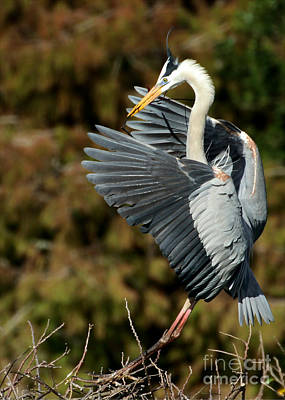 Photograph - Great Blue Heron Landing by Sabrina L Ryan