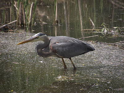 Stratford Photograph - Great Blue Heron Looking For Lunch by Jenny Katsaris
