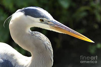 Photograph - Great Blue Heron by Nancy Greenland