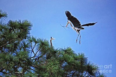 Photograph - Great Blue Heron Nest Building by Terri Mills