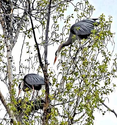 Great Blue Heron Nest Art Print