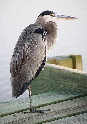 Great Blue Heron On The Dock Print by Paulette Thomas