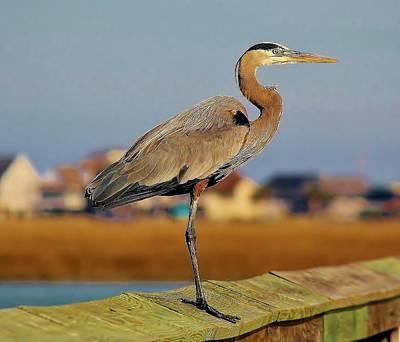 Great Blue Heron On The Marsh Art Print by Paulette Thomas