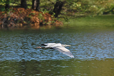 Photograph - Great Blue Heron Over Pond by Mary McAvoy