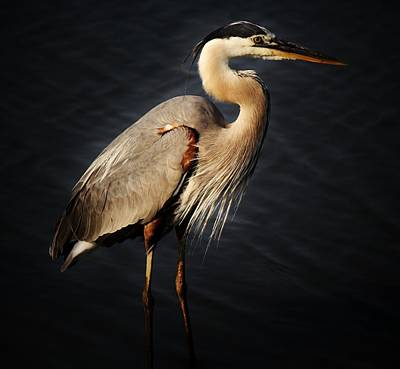 Great Blue Heron Art Print by Paulette Thomas