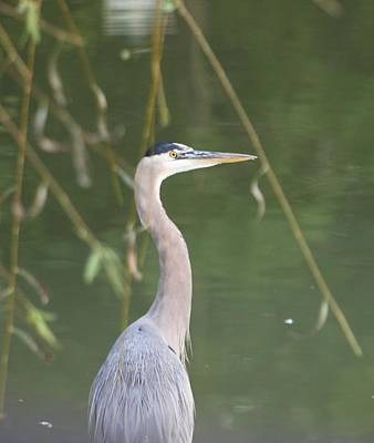 Photograph - Great Blue Heron Portrait  by Jeanne Kay Juhos