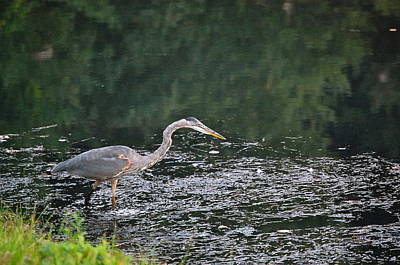 Photograph - Great Blue Heron Preys On Pond Life by Mary McAvoy