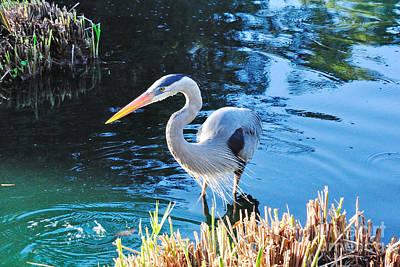 Great Heron Photograph - Great Blue Heron Splashes by Wayne Nielsen