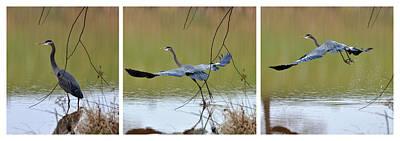 Great Blue Heron Takes Flight - T9535-7h  Art Print by Paul Lyndon Phillips