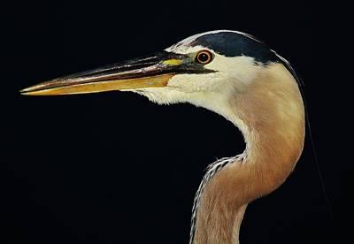 Great Blue Heron Up Close Art Print by Paulette Thomas