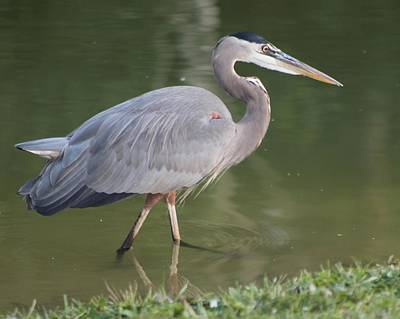Photograph - Great Blue Heron Wading In Pond by Jeanne Kay Juhos