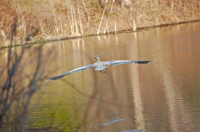 Photograph - Great Blue Heron Wingspan by Mary McAvoy
