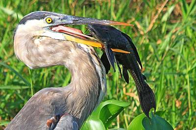 Great Blue Heron With Catfish Art Print
