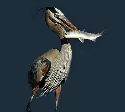 Great Blue Heron With Fish Art Print by Paulette Thomas
