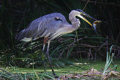 Great Blue Heron With The Catch Of The Day Art Print by Paulette Thomas
