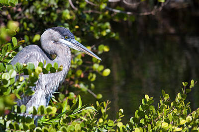 Photograph - Great Blue Heron's Hideout by Adam Pender