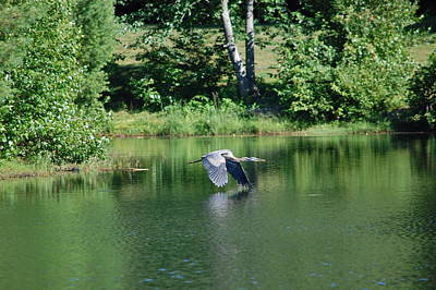 Photograph - Great Blue Heron's World by Mary McAvoy