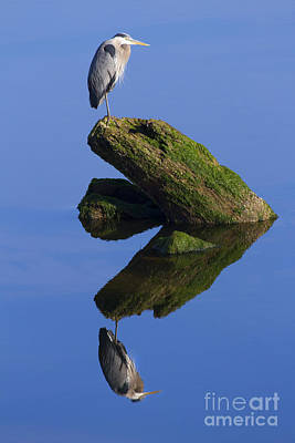 Animals Photos - Great Blue Reflection by Mike Dawson