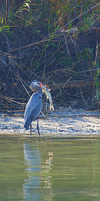 Photograph - Great Blue With Big Fish by Gregory Scott