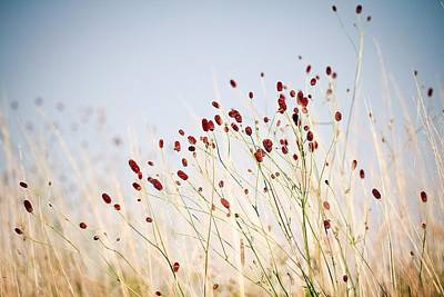 Y120907 Photograph - Great Burnet Flowers by Lacaosa