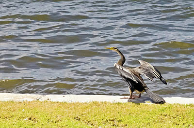 Photograph - Great Cormorant by Harry Strharsky