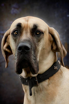 Photograph - Great Dane Dog Portrait by Ethiriel  Photography