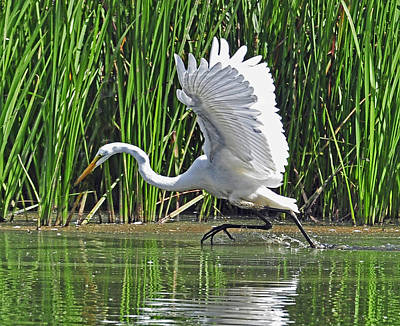 Great Egret   Ardea Alba  Running Start Art Print
