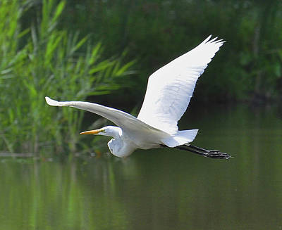 Photograph - Great Egret   by Rodney Campbell