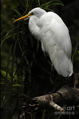 Photograph - Great Egret 3 by Bob Christopher