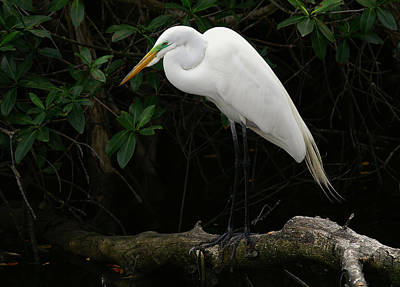 Great Egret Art Print by Anne Rodkin